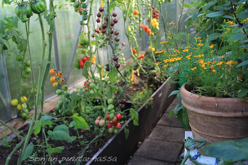 Tomaatit kasvihuoneessa