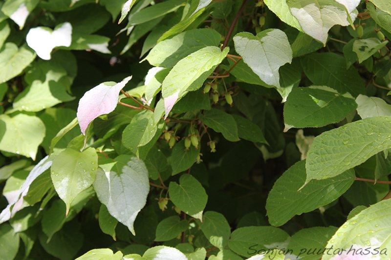 Minikiivin hedelmät