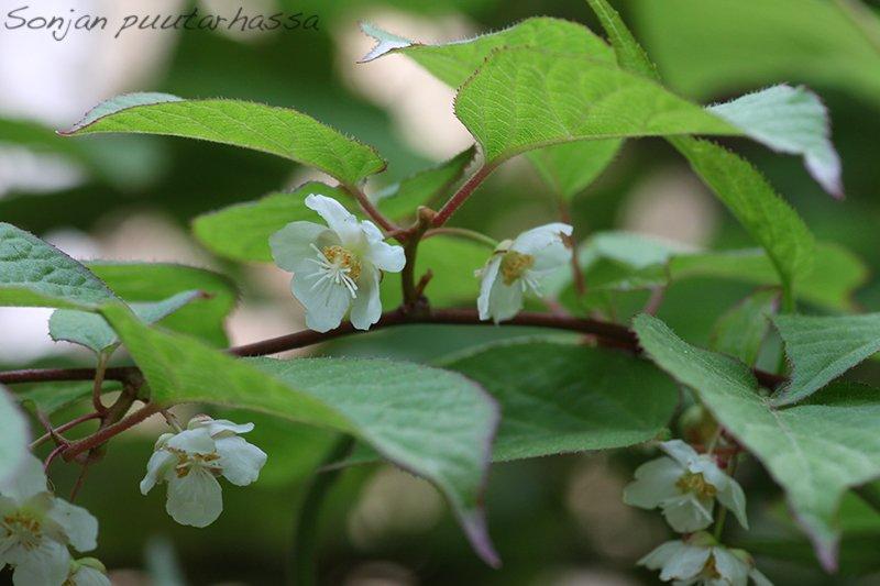 Minikiivin kukka