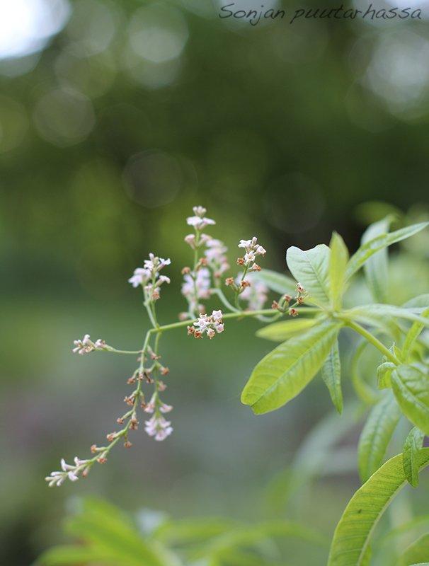 Sitruunaverbenan kukka