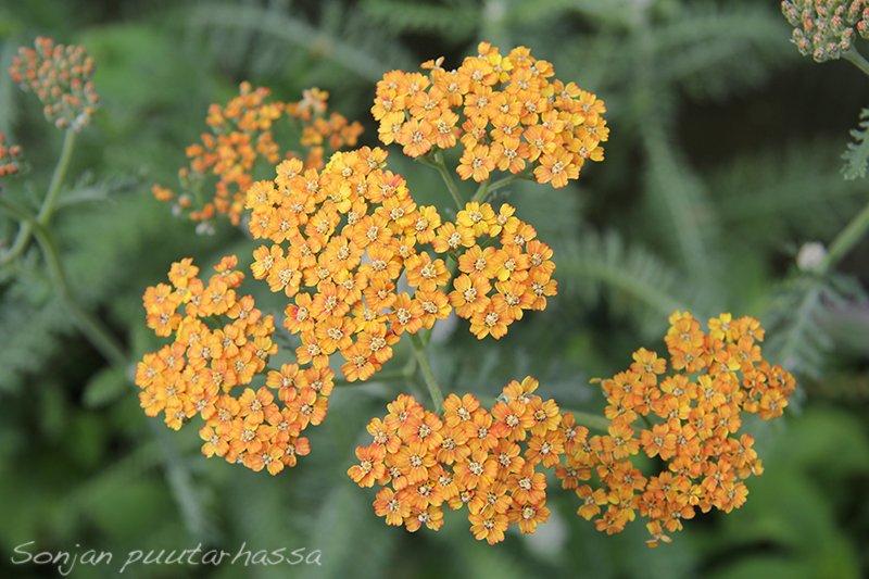 Oranssi siankärsämö