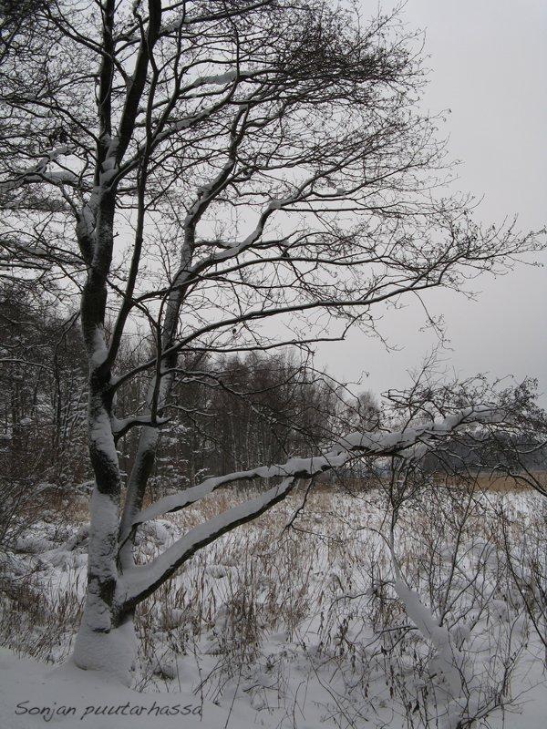SP_talvinen puu